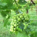 R Seyval Blanc E-L Stage 33 Berries still hard and green.