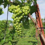 R Seyval Blanc E-L Stage 34 Berries begin to soften; Sugar starts increasing.