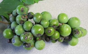 """""""Birds-eye"""" lesion is evident on the berries."""