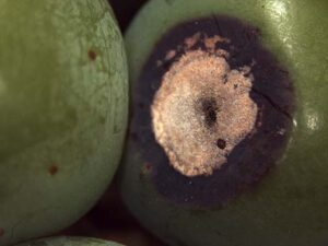 Here is a close up of the lesion on the fruit.