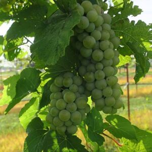 F Vivant E-L Stage 34 - 35 Berries begin to soften; Sugar starts increasing to Berries begin to colour and enlarge.