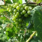 F Chardonel E-L Stage 34 - 35 Berries begin to soften; Sugar starts increasing to Berries begin to colour and enlarge.