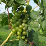 NWV Chardonel E-L Stage 34 - 35 Berries begin to soften; Sugar starts increasing to Berries begin to colour and enlarge.