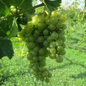 R Seyval Blanc E-L Stage 34 – 36 Berries begin to soften; Sugar starts increasing to Berries begin to colour and enlarge to Berries with intermediate sugar levels.