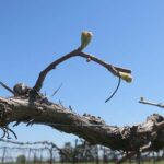 F Chambourcin E-L Stage 4-7 Budburst; leaf tips visible to First leaf separated from shoot tip.
