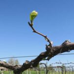 F Chardonel E-L Stage 4-7 Budburst; leaf tips visible to First leaf separated from shoot tip.