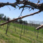 F Vidal Blanc E-L Stage 3-4 Wooly bud +/- green to Budburst; leaf tips visible.