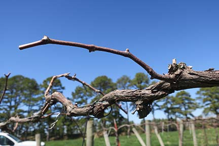 N Norton E-L Stage 1 – 2 Winter bud to Bud scales opening.