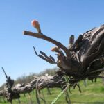 W Catawba E-L Stage 3-4 Wooly bud +/- green to Budburst; leaf tips visible.