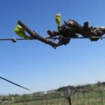 NWV Chardonel E-L Stage 4-7 Budburst; leaf tips visible to First leaf separated from shoot tip.