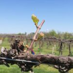 R Seyval Blanc E-L Stage 4-7 Budburst; leaf tips visible to First leaf separated from shoot tip.