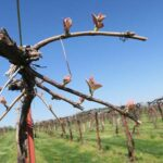 R Catawba E-L Stage 4-7 Budburst; leaf tips visible to First leaf separated from shoot tip.