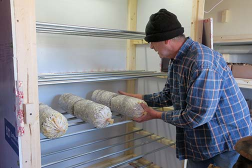The inoculated bags of Pohu, Grey and Brown Oyster mushrooms are placed on the shelf unit.