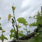 F Vignoles E-L Stage 13 - 15 6 leaves separated to 8 leaves separated, shoot elongating rapidly; single flowers in compact groups.