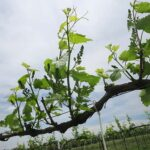 NWV Chardonel E-L Stage 12 - 15 5 leaves separated; shoots about 10 cm long; inflorescence clear to 8 leaves separated, shoot elongating rapidly; single flowers in compact groups.