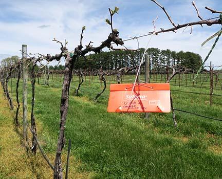 Pheromone trap #1 was placed in the Grape Genomics Vineyard.