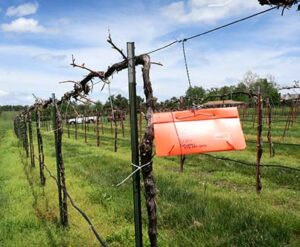 Pheromone trap #2 was placed in Row 20 of the Foundation Vineyard.
