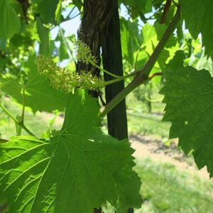 F Vignoles E-L Stage 25 – 27 80% cap-fall to Setting; young berries enlarging)>2 mm diam.), bunch at right angles to stem.