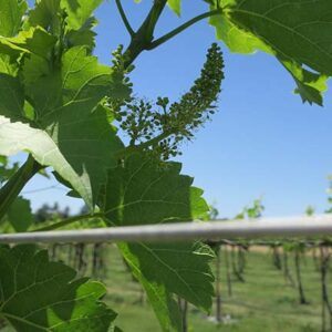 R Seyval Blanc E-L Stage 25 – 27 80% cap-fall to Setting; young berries enlarging)>2 mm diam.), bunch at right angles to stem.