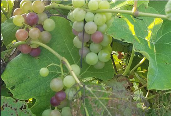 Mars table grape is undergoing veraison, changing color signaling the beginning of ripening.