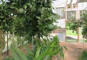 Citrus is growing well in the greenhouse.