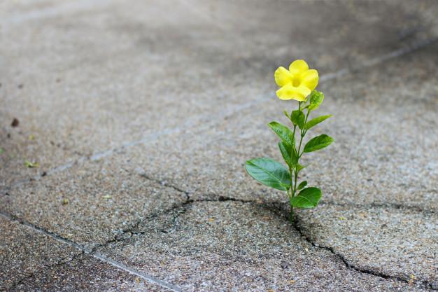 Yellow flower growing through concrete