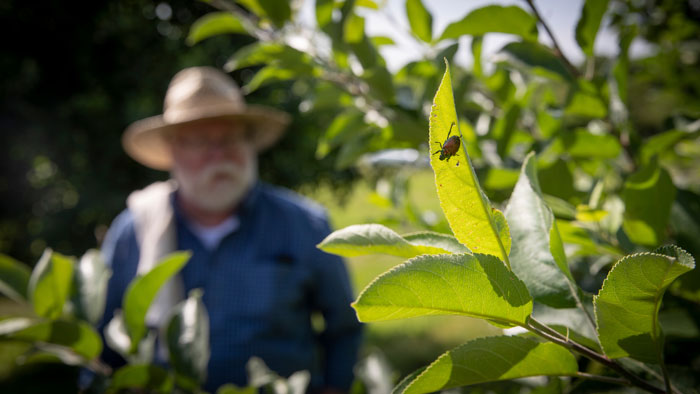 Dr. Maciej Pszczolkowksi examining plants and Japanese Beetles at the Mountain Grove Campus on Tuesday, June 26, 2018
