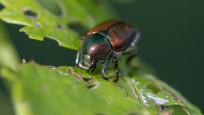 Japanese beetle found on a plant at the Mountain Grove Campus