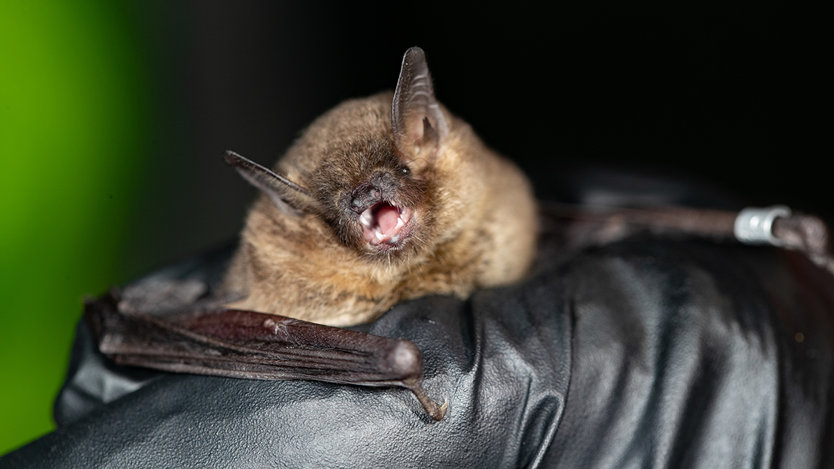 Grey bat held in a black gloved hand