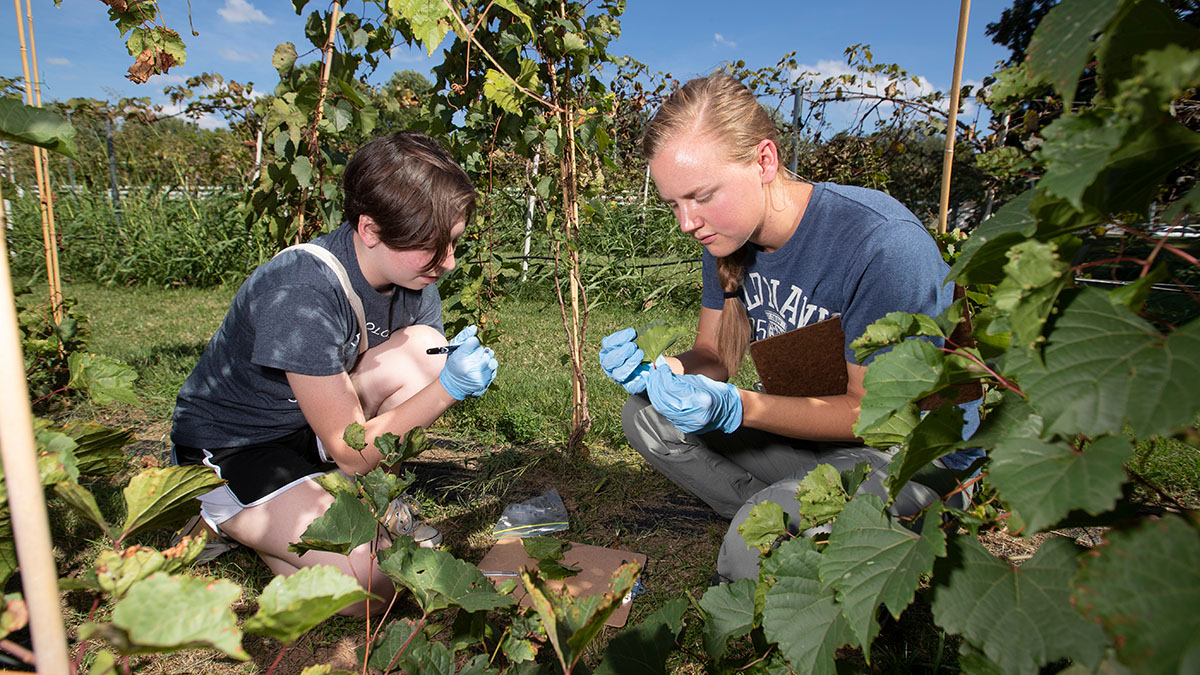 Students take samples of grape hybrids at the Darr Agricultural Center.