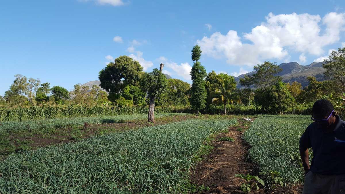 Vegetable farm in Haiti