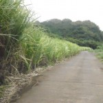 Typical sugarcane